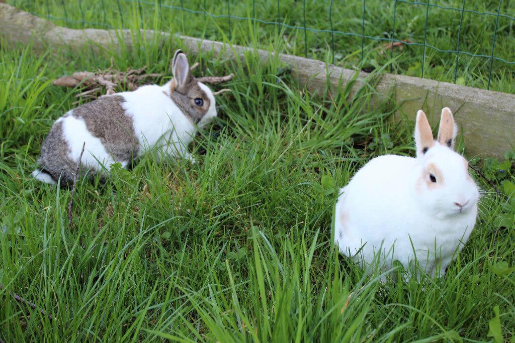 Zwei Kaninchen im Gras
